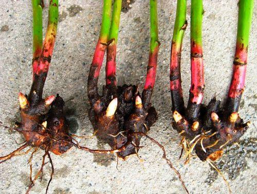 Пионы: пересадка осенью делением куста. правила осенней пересадки пионов для роскошного цветения в следующем году