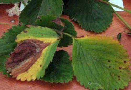 Пятна на листьях клубники: коричневые, ржавые, бурые – почему они появились? меры борьбы с бурыми пятнами на листьях клубники