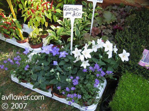 Платикодон: выращивание из семян, посадка в открытый грунт. ухода за платикодоном после посадки, полив и подкормки