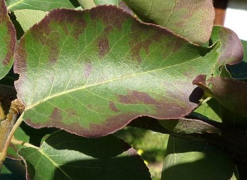 Почему чернеют листья на груше: три основных причины недуга. что делать, если почернели листья на груше: все доступные способы борьбы
