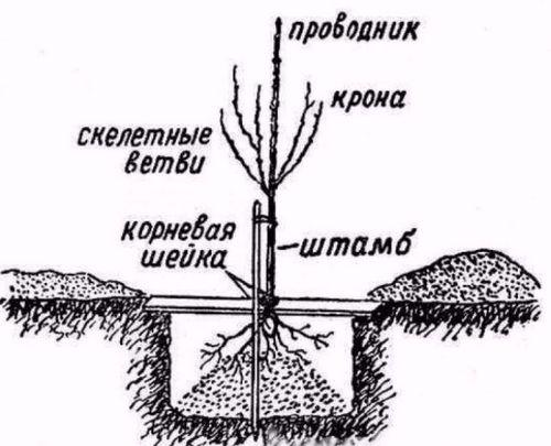 Почему груша не плодоносит? в чем причина и что делать, если груша не цветёт или сбрасывает цветы