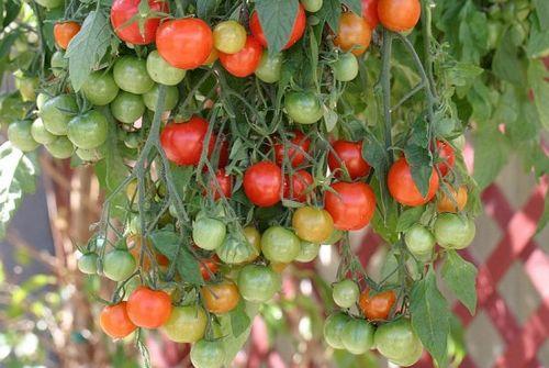 Подборка невысоких сортов томатов для открытого грунта: фото, описание. низкорослые сорта томатов для неотапливаемых теплиц