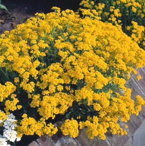 Посадка алиссума в саду: выбираем подходящее место и сорт. уход за алиссумом по всем правилам, принципы размножения