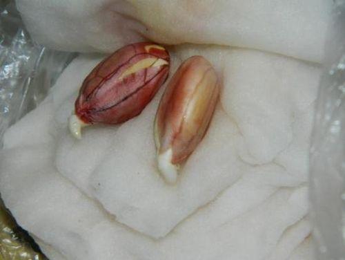 Посадка арахиса и уход за ним в домашних условиях. секреты посадки арахиса и ухода за ним на приусадебном участке