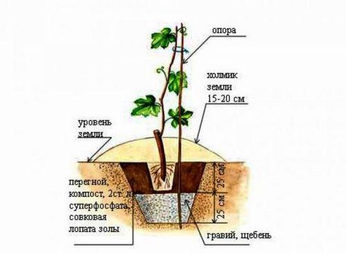 Посадка винограда в подмосковье: тонкости выращивания и ухода. описание лучших сортов винограда для подмосковья