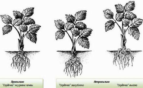 Посадка земляники осенью: когда, где и как сажают землянику. особенности осенней посадки и пересадки земляничных кустов