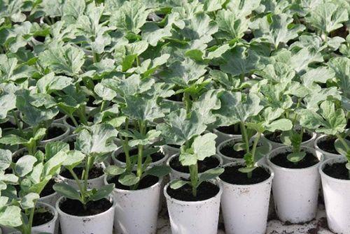 Правила выращивания арбузов в сибири: выбор сорта, тонкости ухода. посадка арбузов в теплице и открытом грунте