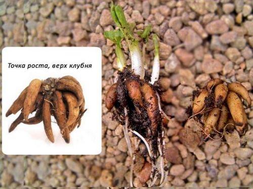 Ранункулюс: посадка, уход (фото). особенности выращивания ранункулюса, вредители и болезни