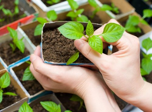 Рассада помидоров желтеет: причины, что делать. если желтеют листья у рассады помидоров: пересадить, подкормить ... что ещё?