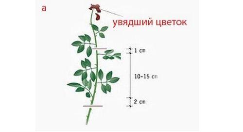 Размножение комнатных роз в домашних условиях: инструкция по черенкованию с фото, подходящие сроки и способы укоренения роз