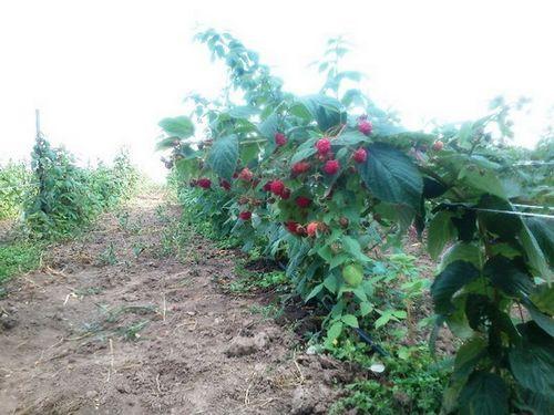 Ремонтантная малина – лучшие сорта, выращивание в разном климате. особенности ухода за ремонтантной малиной