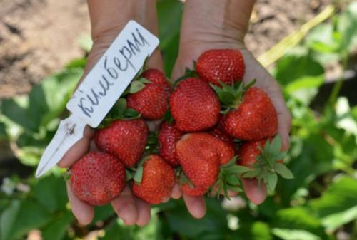 Садовая земляника: лучшие сорта и уход за ними. какие сорта земляники садовой лучше выращивать в подмосковье: советы специалистов