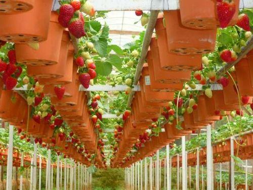 Секреты выращивания клубники круглый год: особенности ухода. клубника в теплице: технология, подготовка почвы и сорта