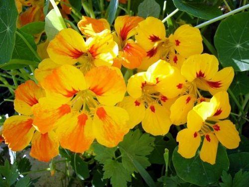 Секреты выращивания настурции: посадка и уход за королевой сада. сорта и виды настурции (фото)