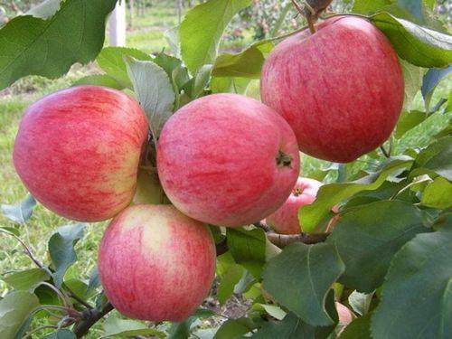 Сорт яблони богатырь – описание, посадка саженца. как получить хороший урожай позднеспелой яблони богатырь на приусадебном участке