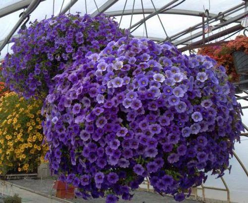 Советы по выращиванию и уходу за калибрахоа из семян: почва и подкормки. как вырастить калибрахоа из черенка дома