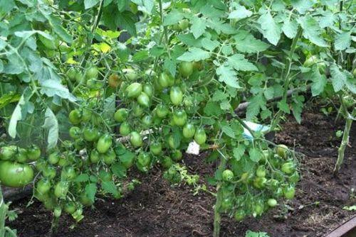 Томат «чио чио сан»: характеристика, фото, особенности, достоинства и недостатки. как выращивать томаты сорта «чио чио сан»