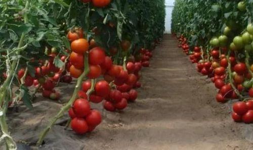 Томаты сорта «интуиция»: фото, достоинства и недостатки. особенности выращивания томатов сорта «интуиция»