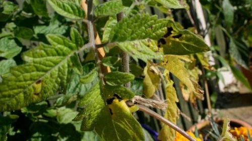 У помидоров желтеют листья - что делать, почему болеет растение? желтеет рассада помидоров: в чём дело и как спасти урожай томатов