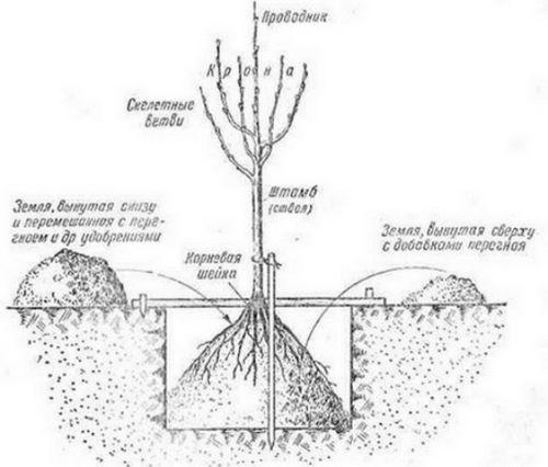 Уход за персиком: посадка, выращивание саженцев. в чем заключается уход за персиком весной?