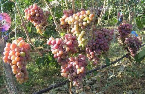 Виноград «атаман»: характеристики и назначение. что нужно учесть при посадке винограда «атаман», как правильно ухаживать за этим сортом