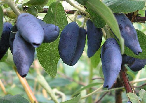 Виноград сорта для средней полосы россии – характеристики сортов, описание. выращивание винограда в регионах с суровыми зимами
