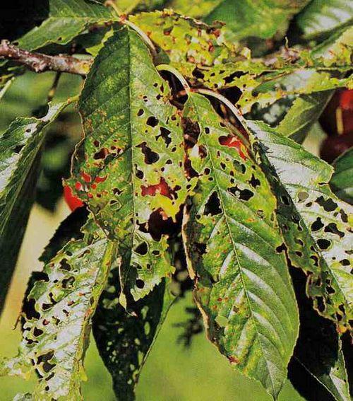 Вишня сохнет: что делать, как спасать? причины засыхания листьев и веток вишни: помочь погибающему косточковому дереву