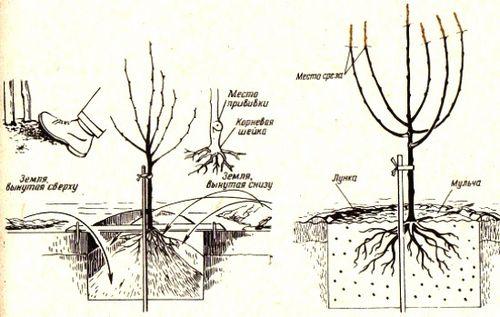 Войлочная вишня: посадка и уход (фото). секреты успешного выращивания войлочной вишни, болезни и вредители