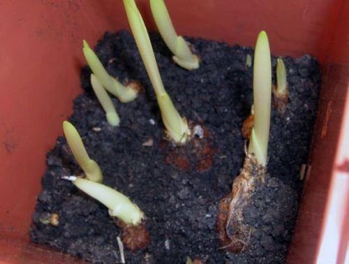 Выращиваем фрезию - цветок с упоительным ароматом. фрезия: посадка, выращивание, уход, советы профессионала