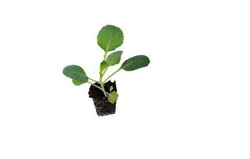 Выращиваем капусту на зависть соседям! основы выращивания капусты: выбор посадочного материала, уход и подкормки
