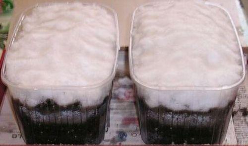 Выращиваем клубнику из семян: как подготовить почву, какие сорта выбрать. проблемы при выращивании клубники из семян