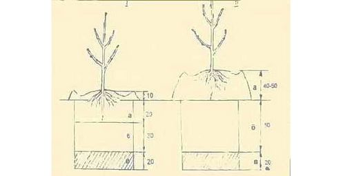Выращивание абрикоса, выбор сеянца, последовательность посадки. как вырастить абрикос для к вашей местности – из косточки
