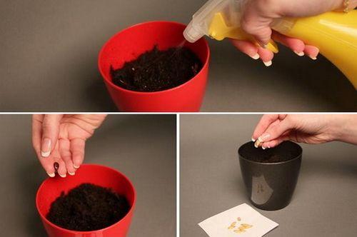Выращивание дыни – проще, чем кажется! как вырастить дыню: посев, уход, подкормки, защита от вредителей и болезней