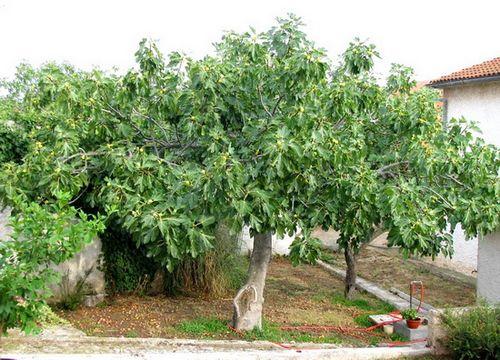 Выращивание инжира: правила ухода за требовательным южанином. как вырастить инжир в саду и в домашних условиях?