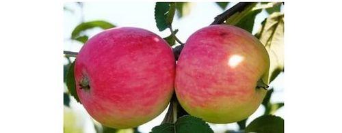 Выращивание яблонь в суровом климате: какие сорта выбрать? популярные сорта яблонь для урала и сибири (фото)