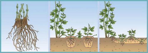 Выращивание клематисов: восхитительная красота на участке. секреты посадки и ухода для успешного выращивания клематисов