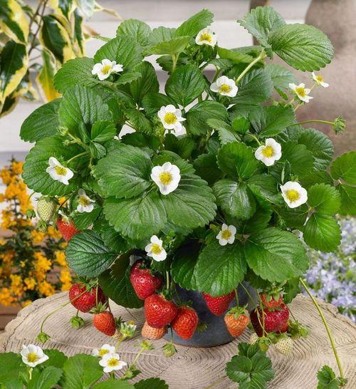 Выращивание клубники в мешках. все рекомендации о том, как посадить и вырастить клубнику в мешках: насколько это прибыльно