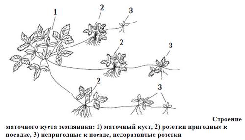Выращивание клубники: выбор посадочного материала и создание необходимых условий. уход и подкормка, а также меры борьбы с болезнями и вредителями