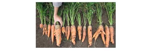 Выращивание моркови – проще простого! способы посева моркови, последующий уход, основные болезни и вредители корнеплода