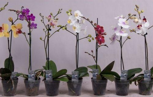 Выращивание орхидей в домашних условиях - оно того стоит! важные моменты и правила ухода при выращивании комнатной орхидеи