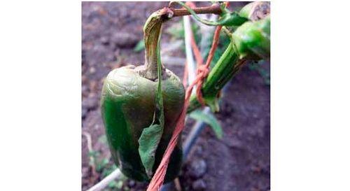 Выращивание перца в теплице – интересное занятие. как вырастить перец в теплице: выбор сорта, полив, подкормки