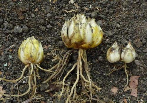 Выращивание прекрасных лилий в саду. какие виды и сорта лилий легче выращивать, соблюдая все условия: уход, полив, подкормка