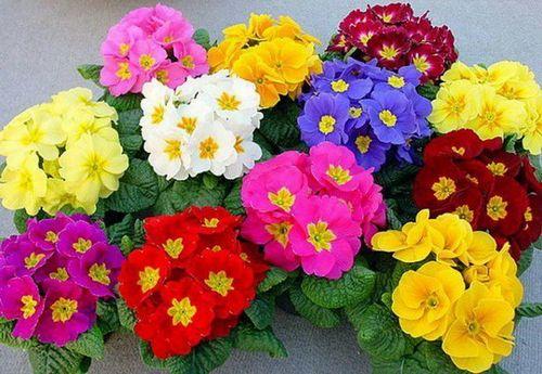 Выращивание примулы: размножение, посадка, уход. азы успешного выращивания примулы для начинающего цветовода