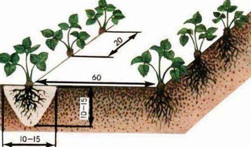 Выращивание ремонтантной клубники (фото): выбор сорта, подготовка почвы, правильный уход. плодоношение ремонтантной клубники