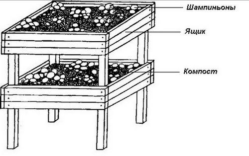 Выращивание шампиньонов в домашних подвалах, погребах. раскрываем секреты выращивания шампиньонов в домашних условиях