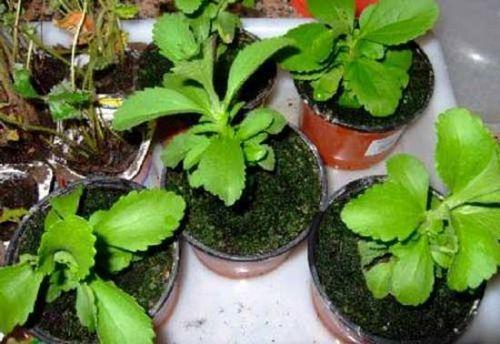 Выращивание стевии: как ухаживать за природным заменителем сахара. уход за стевией дома и в открытом грунте
