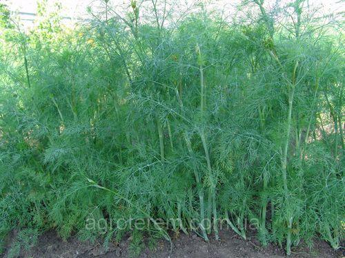 Выращивание укропа – ароматная зелень на даче, в теплице и дома. способы выращивания укропа, посев, подкормки, удобрение и срез