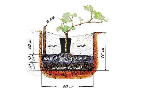 Выращивание винограда: посадка, уход, борьба с вредителями. советы опытных садоводов по выращиванию винограда